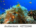 Red Sea Anemonefishes ...