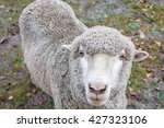 a sheep is looking at a camera | Shutterstock . vector #427323106
