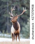 Wild Elk in winter, Banff National Park Alberta Canada - stock photo