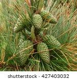Pinus Sylvestris  Scots Pine ...