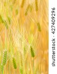 barley | Shutterstock . vector #427409296