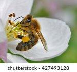 Honey Bee Pollinating Apple...