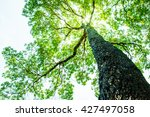 big tree with green leaves  sun ... | Shutterstock . vector #427497058