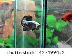 fighting fish | Shutterstock . vector #427499452