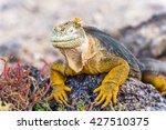 Wild Land Iguana  Conolophus...