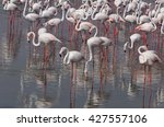 flock of flamingo in ras al... | Shutterstock . vector #427557106