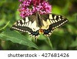 Papilio Machaon  Common Yellow...
