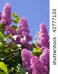 Lilac Against The Sky In The...