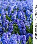 Purple Hyacinth In A Field Nea...