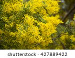 Small photo of Close-up of australian acacia cultriformis bright yellow flowers