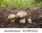 Champignon Growing In The...