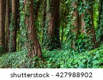 big trees with ivy lianas in... | Shutterstock . vector #427988902