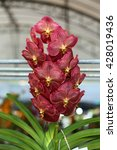 Small photo of Red vanda orchid in Thailand.