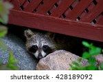 Hiding Raccoon 3