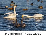 swans and ducks on the... | Shutterstock . vector #428212912