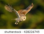 Flying Eurasian Tawny Owl ...