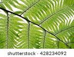 natural green fern | Shutterstock . vector #428234092