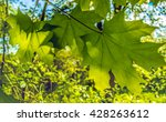 three green maple leaf in the...   Shutterstock . vector #428263612