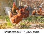 hen on the farm | Shutterstock . vector #428285086