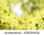 green hornbeam leaves in the...   Shutterstock . vector #428290426