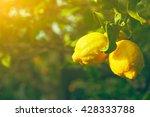 Lemon. Ripe Lemons Hanging On...