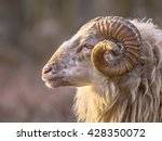 Small photo of Ram of ancient breed of long-tailed sheep portrait sideview