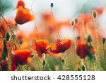 The Huge Field Of Red Poppies...