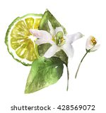 watercolor bergamot blossom... | Shutterstock . vector #428569072