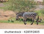 zebra  | Shutterstock . vector #428592805