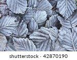 Frosty Alder Leaves Closeup