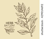 background with  bay leaf. hand ... | Shutterstock .eps vector #429014692