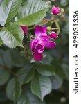 Bleu Magenta    Rambling Rose ...
