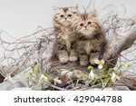 Stock photo portrait of two little fluffy kittens on thoroughbred old snag in scourge 429044788