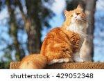 Beautiful Orange Long Haired Bi ...