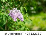 amazing nature of lilac under... | Shutterstock . vector #429122182