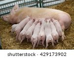 Fertile Sow Lying On Straw And...