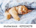 Stock photo cute ginger cat lying in bed under a blanket fluffy pet comfortably settled to sleep cozy home 429224278