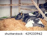 Cows Lying In Hay In A Stable