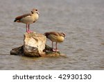 Egyptian Geese  Alopochen...