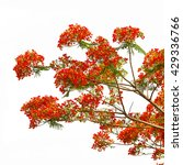 Royal Poinciana  Flamboyant ...