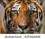 wild bengal tiger  panthera... | Shutterstock . vector #429366406