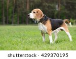 beagle standing in a field. dog ... | Shutterstock . vector #429370195