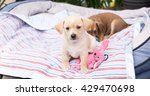 small young terrier mix puppies ... | Shutterstock . vector #429470698