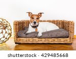 Stock photo jack russell dog in bed 429485668
