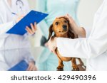 Stock photo medicine pet care and people concept close up of dachshund dog and veterinarian doctor with 429490396