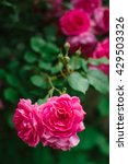 pink blossoming roses. | Shutterstock . vector #429503326