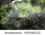Small photo of Foliage of a white fir ( Abies concolor).