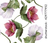 watercolor hellebore flower... | Shutterstock . vector #429777952