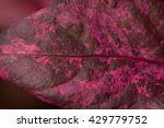 Small photo of Pink Leaf of Alternanthera