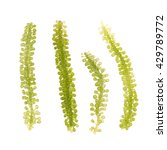 umi budou  seaweed   healthy... | Shutterstock . vector #429789772